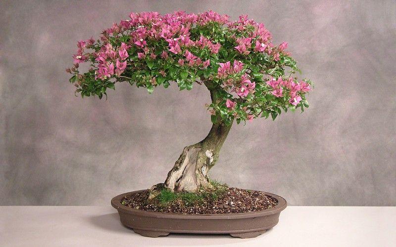 bonsai  arte japones